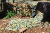 """Chỉ tốn hơn 1 triệu đồng, mẹ trẻ """"biến hình"""" mảnh đất nhỏ trở thành khu vườn trồng xương rồng, sen đá đẹp mê mẩn ở Đà Lạt"""