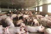 Giá thịt lợn giảm mạnh, bán 'không lấy lãi' lo đẩy hàng sớm