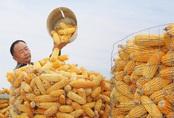 Hình ảnh ngô trong kho dự trữ bị mốc gây xôn xao ở Trung Quốc