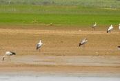 Hàng trăm con chim giang sen quý hiếm xuất hiện ở hồ Trị An