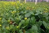 Lo thực phẩm bẩn, nhà giàu Hà Nội 'đua nhau' thuê đất tự trồng rau ăn