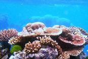 Săn san hô trái phép bán cho người chơi cá cảnh