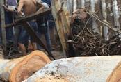 Bé trai 14 tuổi bị cây bạch đàn đè chết