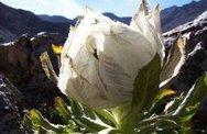 Chè sen tuyết Tây Tạng, trà hoa hồng 9 năm nở 1 lần có tiền chưa chắc đã mua được
