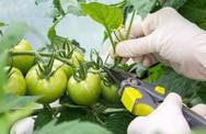 Hướng dẫn cách trồng cà chua lớn nhanh như thổi, thu hoạch mỏi tay trong mùa hè