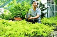 Khu vườn đinh lăng 10.000 cây đem lại khoản thu hàng trăm triệu cho ông chủ