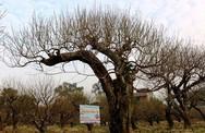 Những cây cảnh tiền tỷ cho Tết Mậu Tuất
