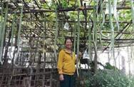 Hàng trăm quả mướp rắn dài gần 2m chi chít trong khu vườn ở Quảng Trị