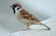 Bài thuốc từ chim sẻ chữa nam giới liệt dương, ít tinh