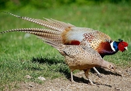 Phát hiện thêm 1 đàn chim trĩ nhiễm cúm A (H5N6)