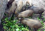 Dân giàu Hà Thành góp tiền nuôi lợn rừng ăn Tết