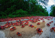 Cận cảnh cuộc di cư của 120 triệu con cua đỏ
