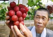 Hoa quả giá hàng trăm triệu chỉ có ở Nhật Bản