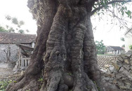 """Kỳ lạ gốc thị """"cổ đại"""", khổng lồ ở Nghệ An"""