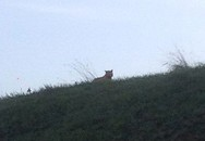 Hoảng sợ phát hiện hổ lang thang gần bãi đỗ xe