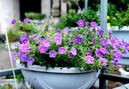 Nhà đẹp nhờ trồng hoa triệu chuông, dạ yến thảo