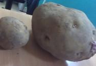 Độc đáo củ khoai tây to hơn quả bí ngô