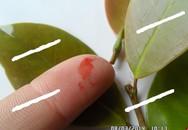 Sự thật về việc cây si đỏ chữa bệnh ung thư