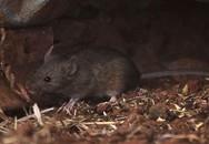 Thấy chuột chết bất thường nên thông báo cơ quan y tế