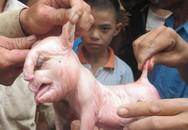 Lạ kỳ những vụ lợn đẻ ra… voi ở Việt Nam