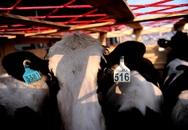 Vinamilk tiếp tục nhập bò sữa mang thai cao sản từ Úc về Việt Nam