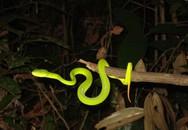 Video hướng dẫn thoát hiểm khi bị rắn lục đuôi đỏ cắn