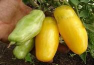 Cà chua màu vàng, dài như chuối đang được ưa chuộng