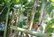 Lão nông kiếm tiền nhờ đưa bẹ cây chuối hột xuất ngoại