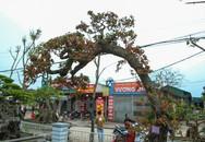 Chiêm ngưỡng cây dâu cảnh giá trăm triệu ở Việt Nam
