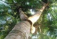 Cây dừa 3 ngọn chữa bách bệnh, giá triệu đô không bán