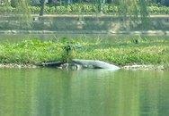 Cụ rùa Hồ Gươm ngoi lên bờ ngày đầu năm mới