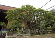 Đấu giá 5 tỷ mua siêu cây 120 tuổi đón xuân