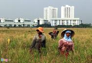 Người miền Tây lên Sài Gòn gặt lúa thuê kiếm tiền tiêu Tết