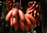 """Cây giống chuối đỏ giá lên đến cả trăm nghìn vẫn """"sốt"""""""