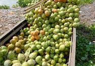 Dừa xiêm Bến Tre mua tại vườn giá chỉ 20.000 đồng/12 trái