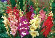 Cách cắm hoa lay ơn đơn giản ngày Tết