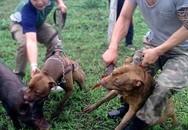 Sốc với clip huấn luyện chó săn bằng cách cho cắn xé một chú lợn