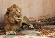 Kinh sợ sư tử cắn chết người rồi xổng chuồng