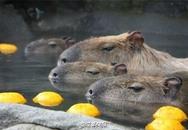 Nhật Bản: Chuột khổng lồ tắm nước nóng thơm gây sốt mạng