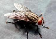 Con ruồi đắt giá nhất thế giới