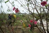 Hoa đào đã nở ở vườn đào Nhật Tân