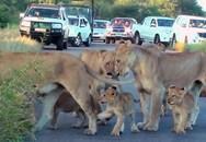 Kinh ngạc bầy sư tử kéo nhau ra đường ăn ngủ gây ách tắc giao thông