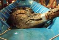 Hàng chục người vây bắt cá sấu dài 2,2 m