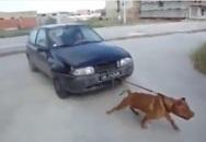 Ngộ nghĩnh clip chó kéo xe ô tô chạy vù vù