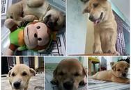 Chú chó bị cẩu tặc quay lại giết chết sau vài ngày trốn thoát về nhà