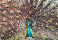 Lo Tết sớm: Chim công chục triệu, mua 2 USD lì xì giá 500 ngàn