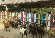Xem đàn dê lùn châu Phi dễ thương tại Thảo Cầm Viên