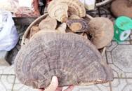Phú Quốc: Nhìn mặt hét giá bán nấm linh chi