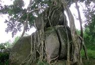 Cây sanh ngàn tuổi độc đáo trở thành cây di sản Việt Nam