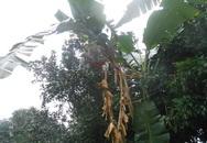 Kỳ lạ cây chuối đã trổ buồng còn nở 4 búp hoa chĩa ra 4 hướng